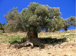 Pohon ghorqod